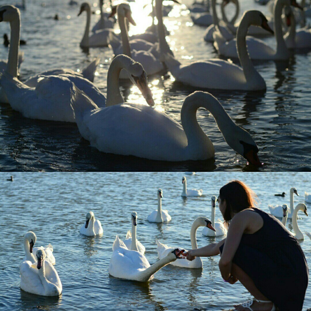 Лебеди на озере Сасык в Евпатории