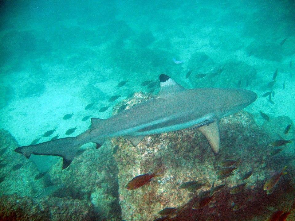 Акулы Снупи айленд